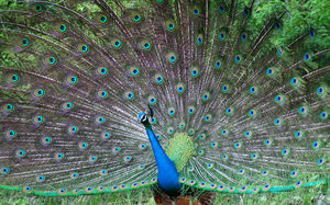 Beautiful peacock peacock feather pictures ppt