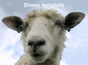 Small sheep ppt template