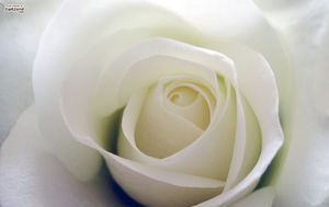 White roses Background